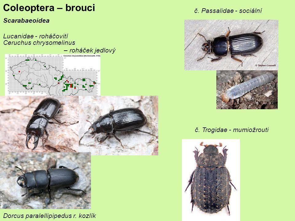Coleoptera – brouci č. Passalidae - sociální Scarabaeoidea