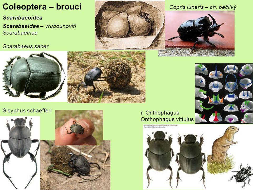 Coleoptera – brouci Copris lunaris – ch. pečlivý Scarabaeoidea