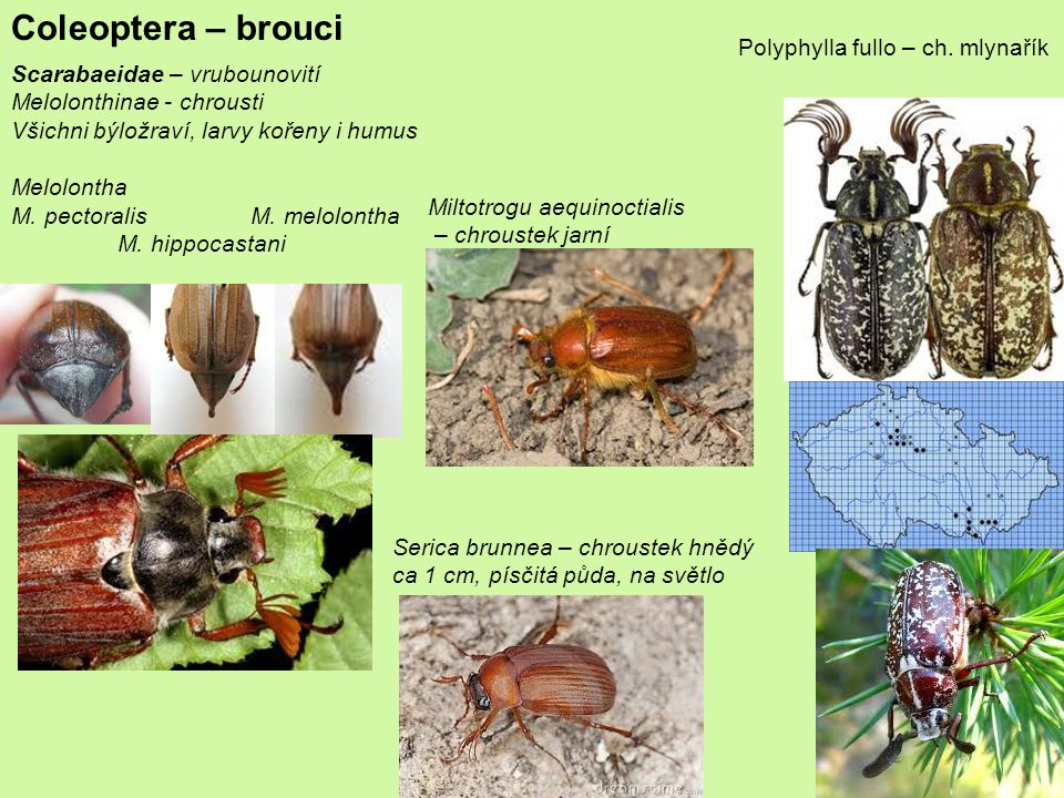 Coleoptera – brouci Polyphylla fullo – ch. mlynařík