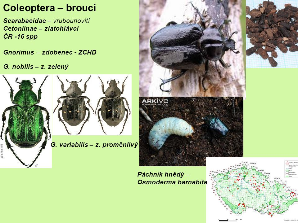 Coleoptera – brouci Scarabaeidae – vrubounovití