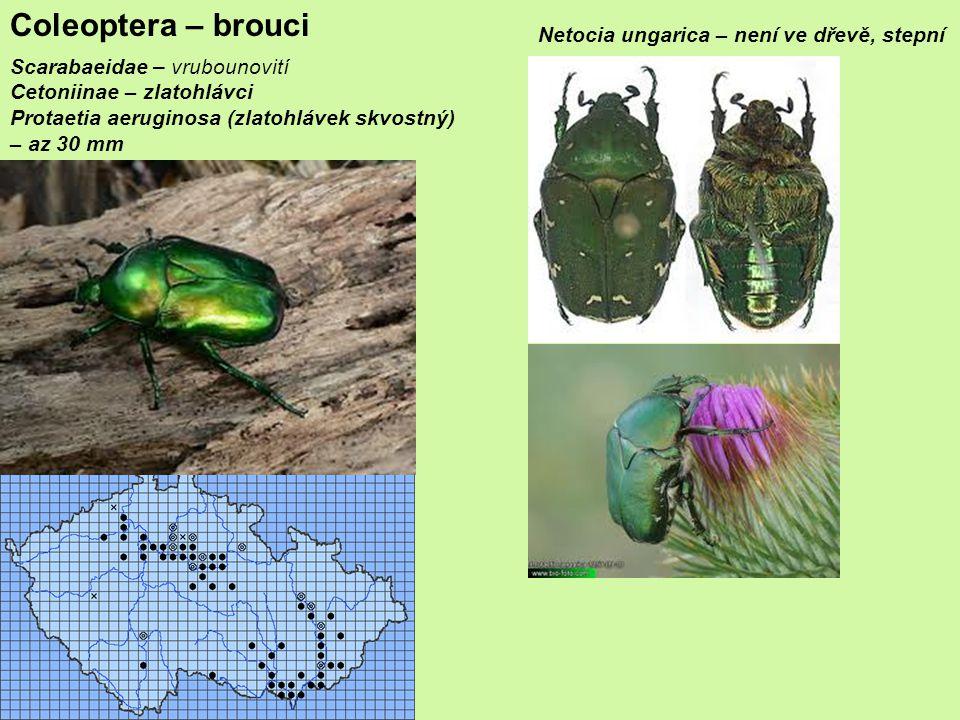 Coleoptera – brouci Netocia ungarica – není ve dřevě, stepní
