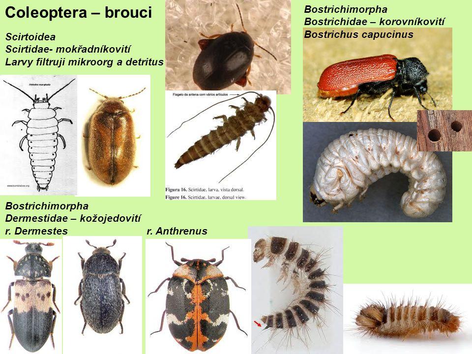 Coleoptera – brouci Bostrichimorpha Bostrichidae – korovníkovití