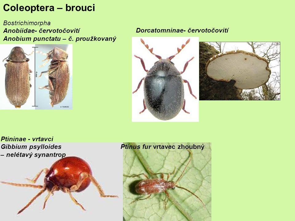 Coleoptera – brouci Bostrichimorpha Anobiidae- červotočovití
