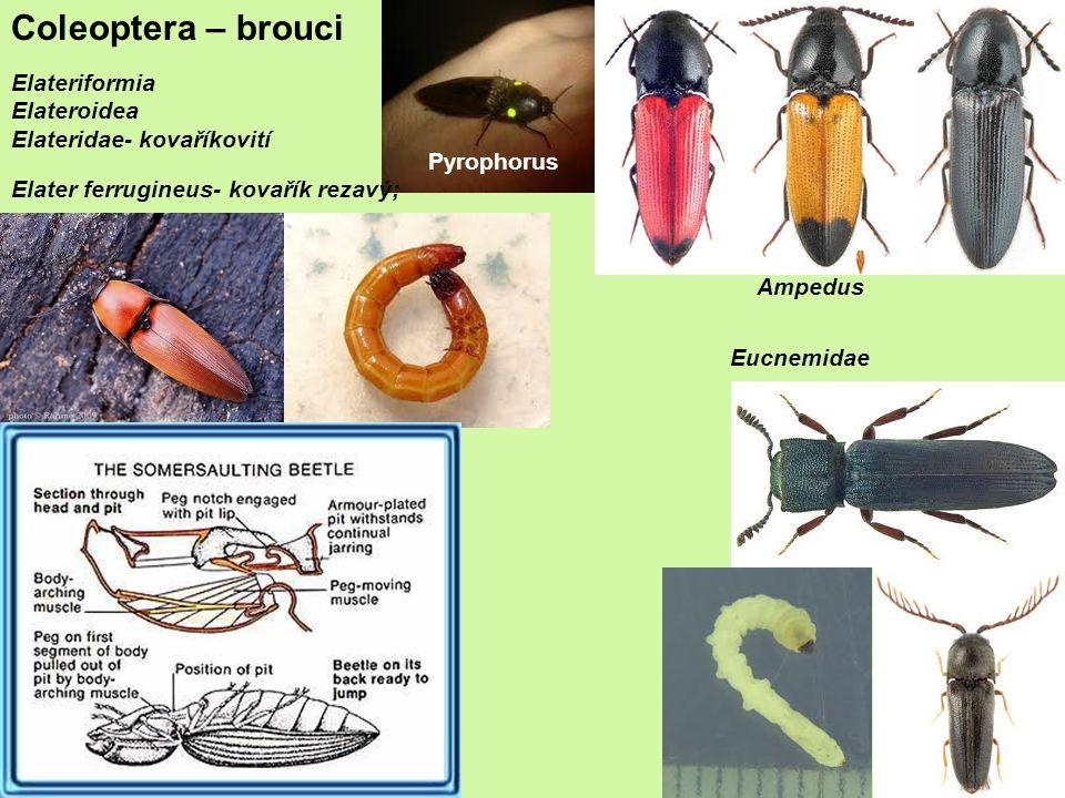 Coleoptera – brouci Elateriformia Elateroidea Elateridae- kovaříkovití