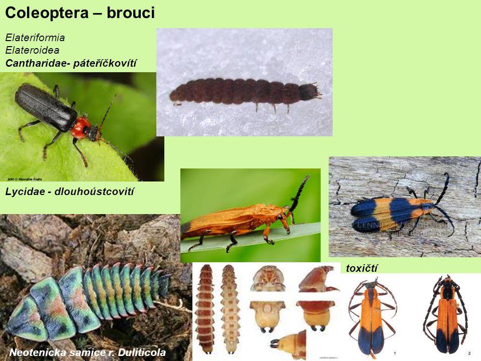 Coleoptera – brouci Elateriformia Elateroidea
