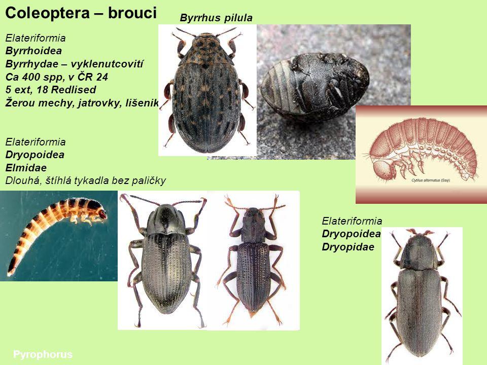 Coleoptera – brouci Byrrhus pilula Elateriformia Byrrhoidea
