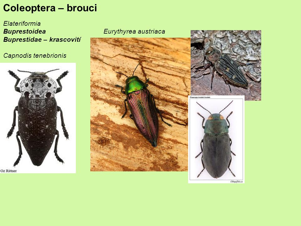 Coleoptera – brouci Elateriformia Buprestoidea