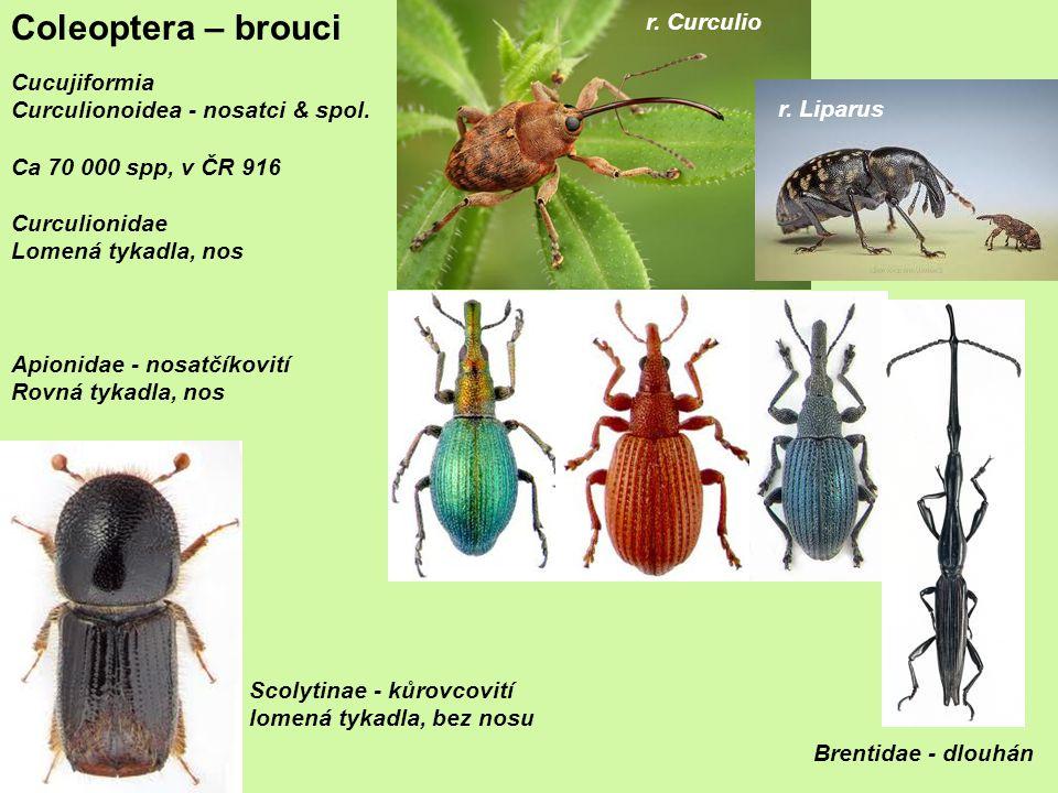 Coleoptera – brouci r. Curculio Cucujiformia