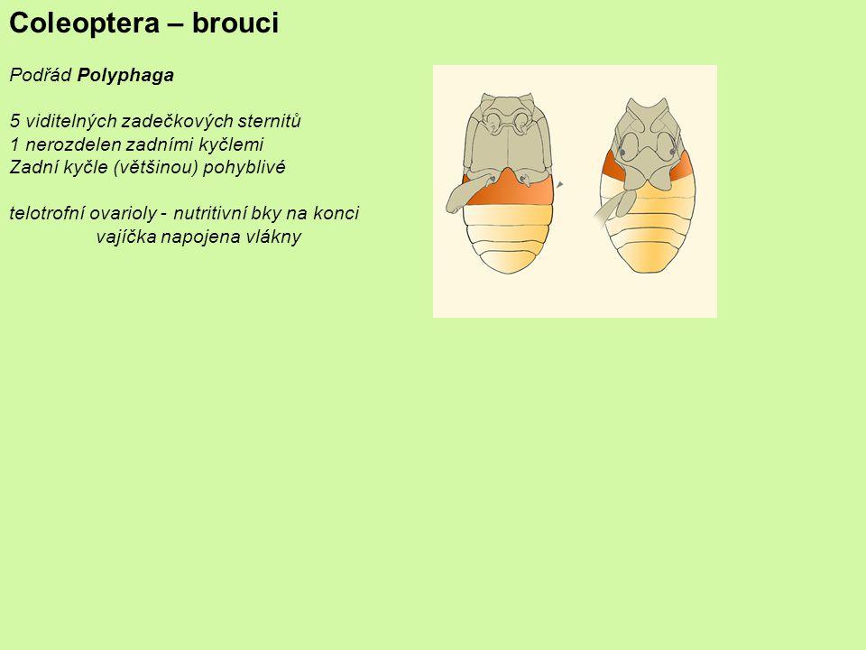 Coleoptera – brouci Podřád Polyphaga