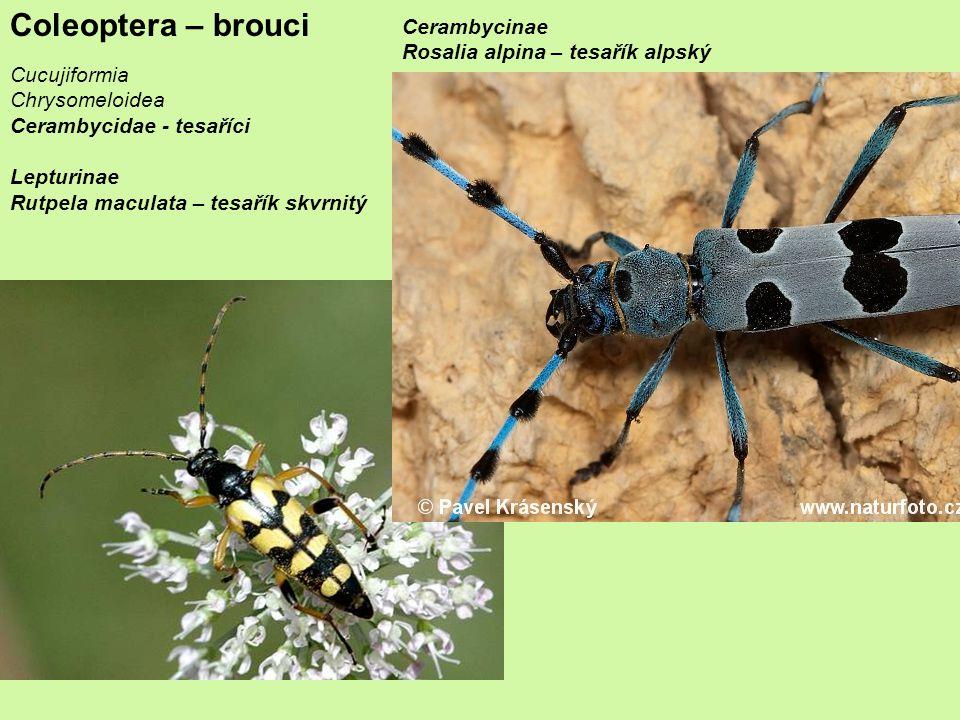 Coleoptera – brouci Cerambycinae Rosalia alpina – tesařík alpský