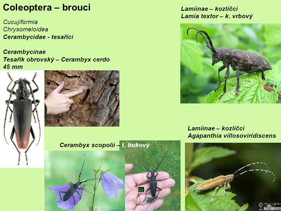 Coleoptera – brouci Lamiinae – kozlíčci Lamia textor – k. vrbový