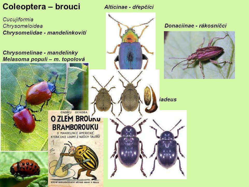 Coleoptera – brouci Alticinae - dřepčíci Cucujiformia Chrysomeloidea