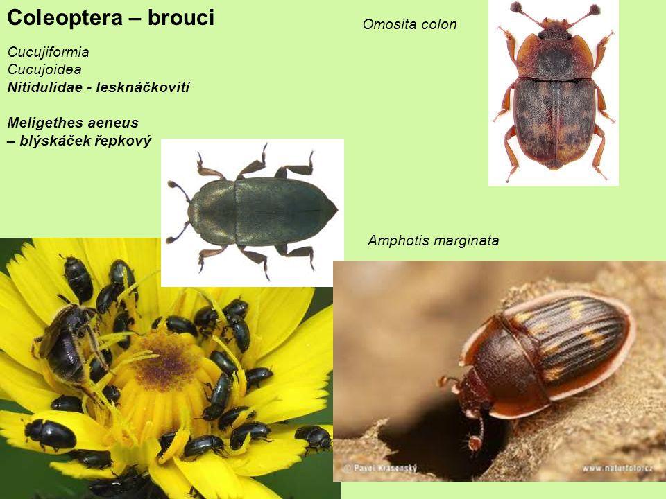 Coleoptera – brouci Omosita colon Cucujiformia Cucujoidea