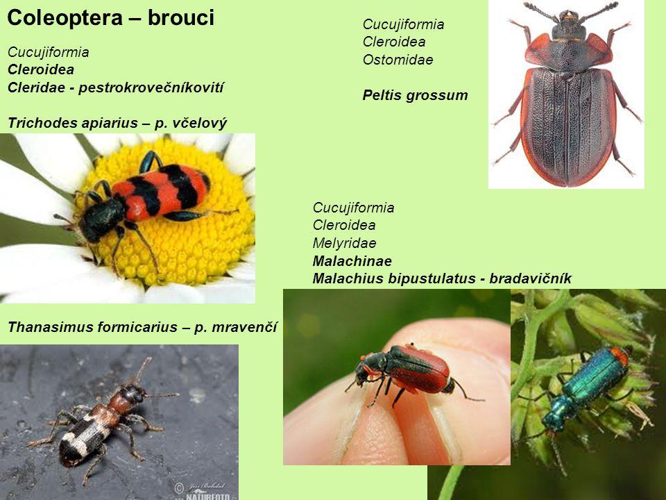 Coleoptera – brouci Cucujiformia Cleroidea Ostomidae Cucujiformia