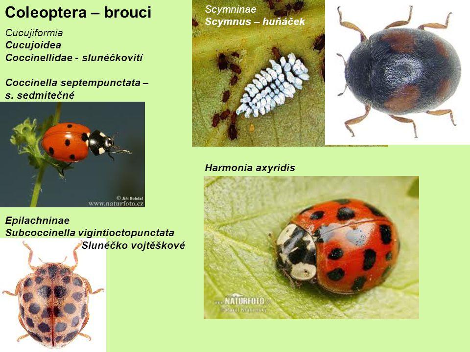 Coleoptera – brouci Scymninae Scymnus – huňáček Cucujiformia
