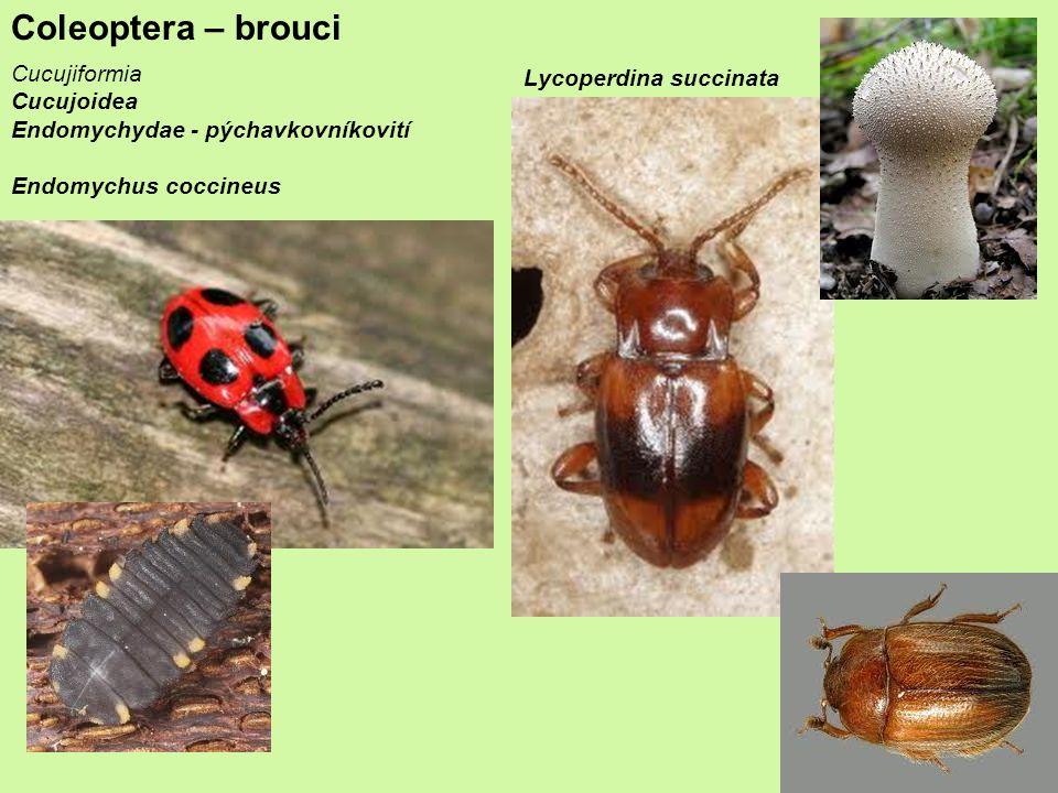 Coleoptera – brouci Cucujiformia Lycoperdina succinata Cucujoidea