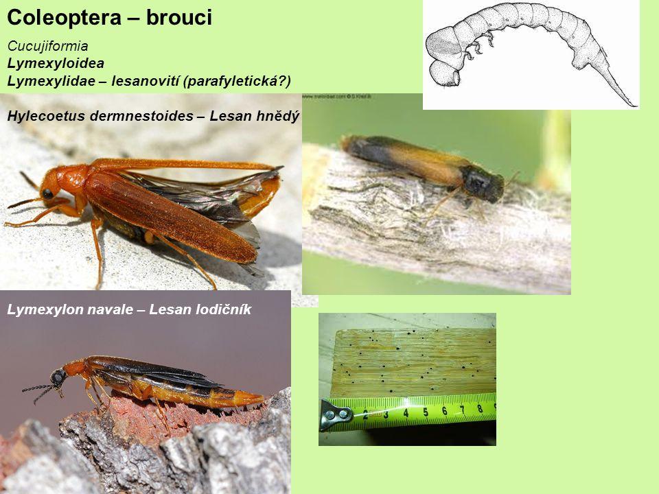 Coleoptera – brouci Cucujiformia Lymexyloidea
