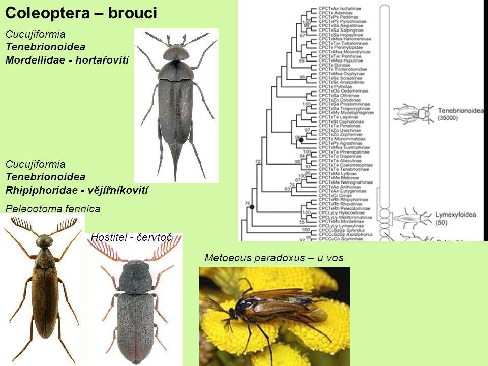 Coleoptera – brouci Cucujiformia Tenebrionoidea