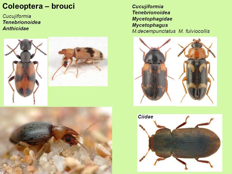 Coleoptera – brouci Cucujiformia Tenebrionoidea Mycetophagidae