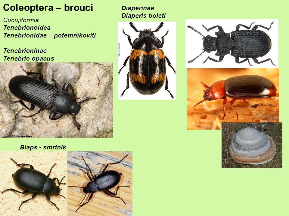 Coleoptera – brouci Diaperinae Diaperis boleti Cucujiformia