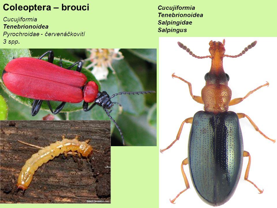 Coleoptera – brouci Cucujiformia Tenebrionoidea Salpingidae