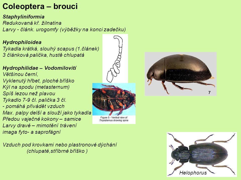 Coleoptera – brouci Staphyliniformia Redukovaná kř. žilnatina