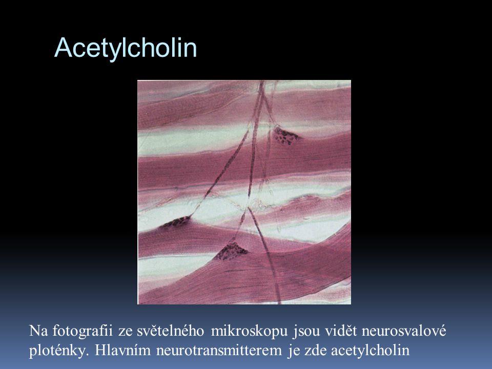 Acetylcholin Na fotografii ze světelného mikroskopu jsou vidět neurosvalové ploténky.
