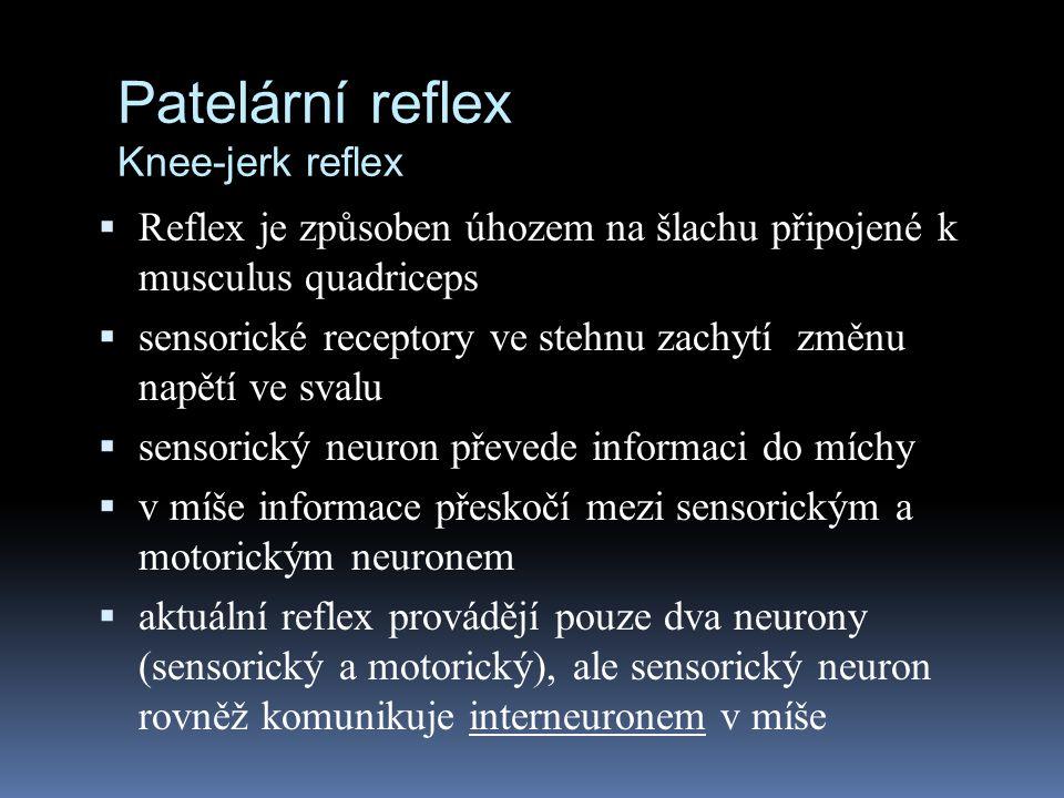 Patelární reflex Knee-jerk reflex