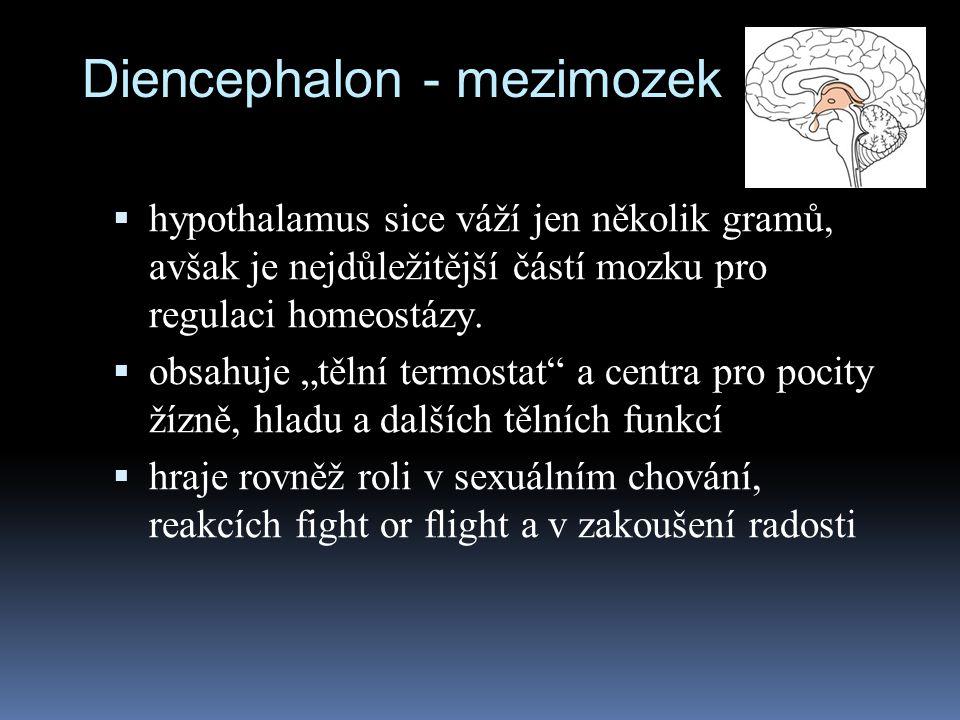 Diencephalon - mezimozek