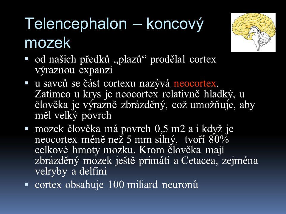 Telencephalon – koncový mozek