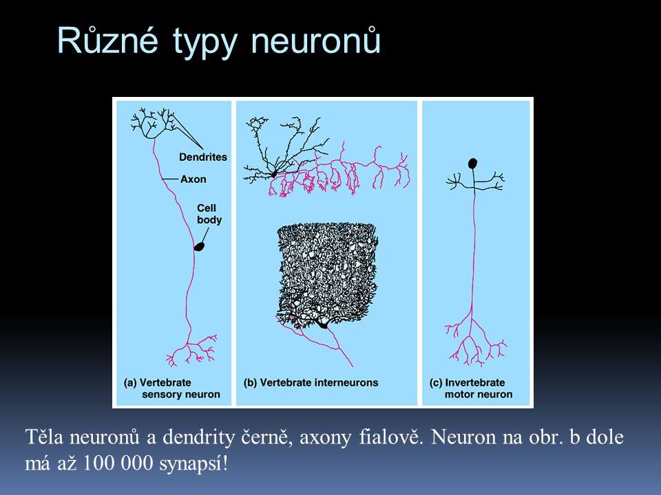 Různé typy neuronů Těla neuronů a dendrity černě, axony fialově.