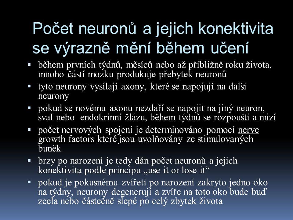 Počet neuronů a jejich konektivita se výrazně mění během učení