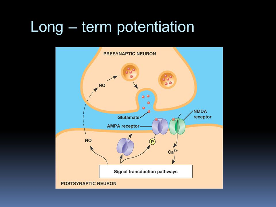 Long – term potentiation