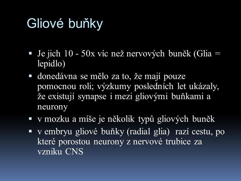 Gliové buňky Je jich 10 - 50x víc než nervových buněk (Glia = lepidlo)