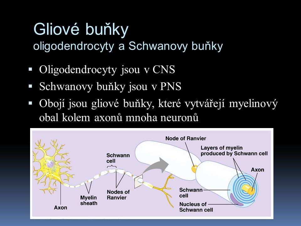 Gliové buňky oligodendrocyty a Schwanovy buňky