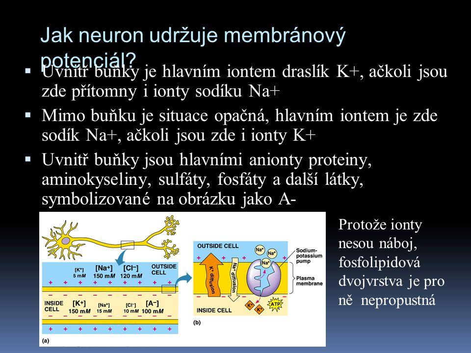 Jak neuron udržuje membránový potenciál
