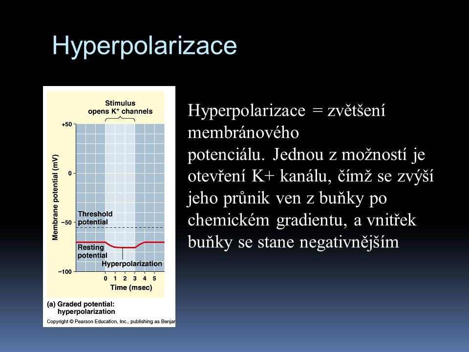 Hyperpolarizace Hyperpolarizace = zvětšení membránového
