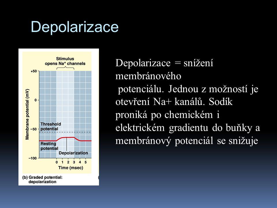 Depolarizace Depolarizace = snížení membránového