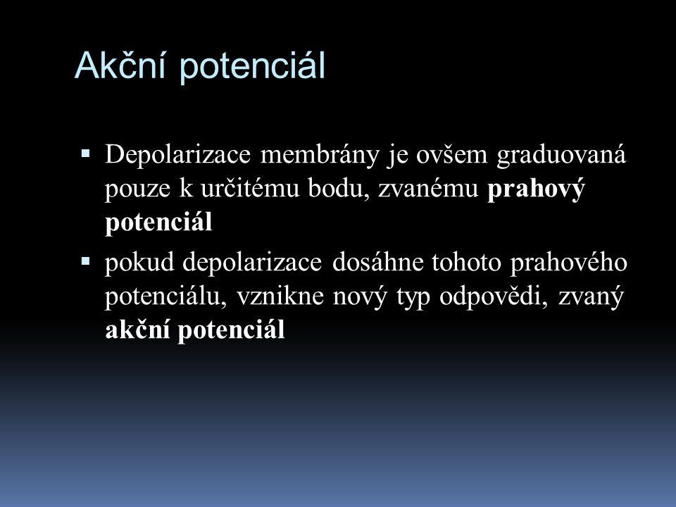 Akční potenciál Depolarizace membrány je ovšem graduovaná pouze k určitému bodu, zvanému prahový potenciál.