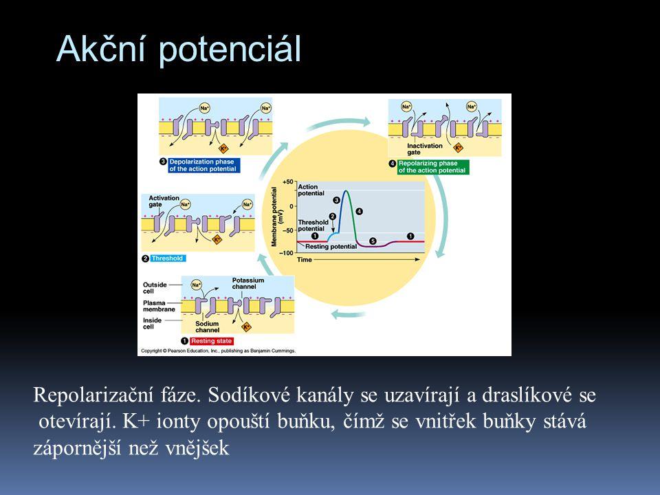 Akční potenciál Repolarizační fáze. Sodíkové kanály se uzavírají a draslíkové se.