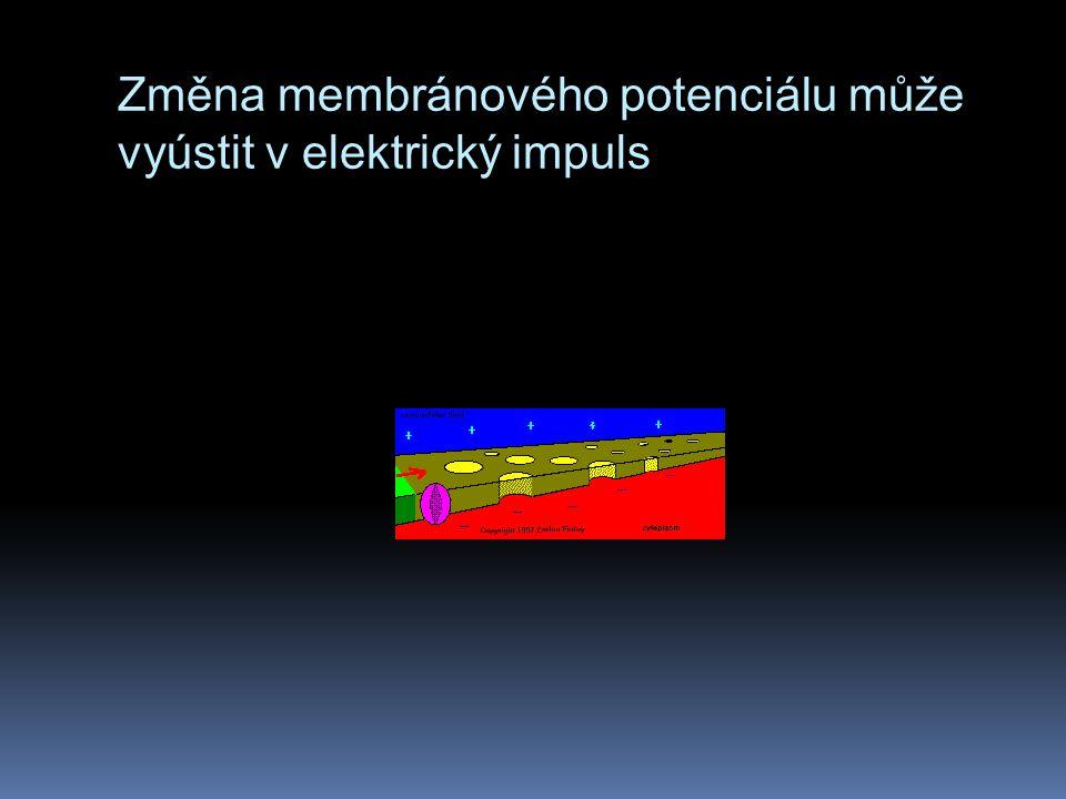 Změna membránového potenciálu může vyústit v elektrický impuls