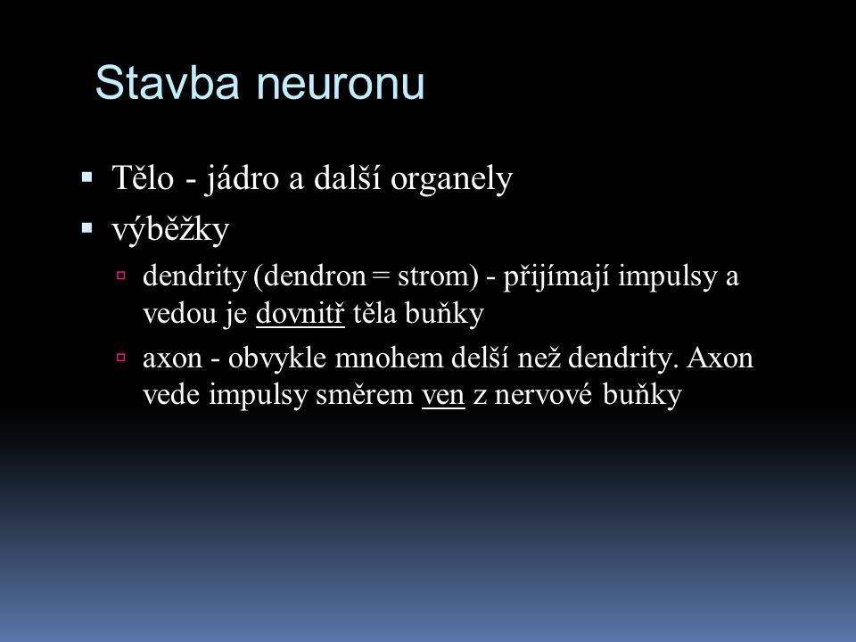 Stavba neuronu Tělo - jádro a další organely výběžky