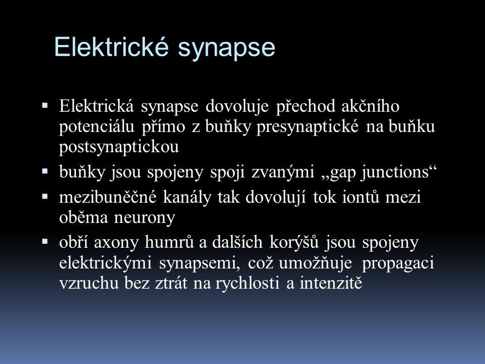Elektrické synapse Elektrická synapse dovoluje přechod akčního potenciálu přímo z buňky presynaptické na buňku postsynaptickou.
