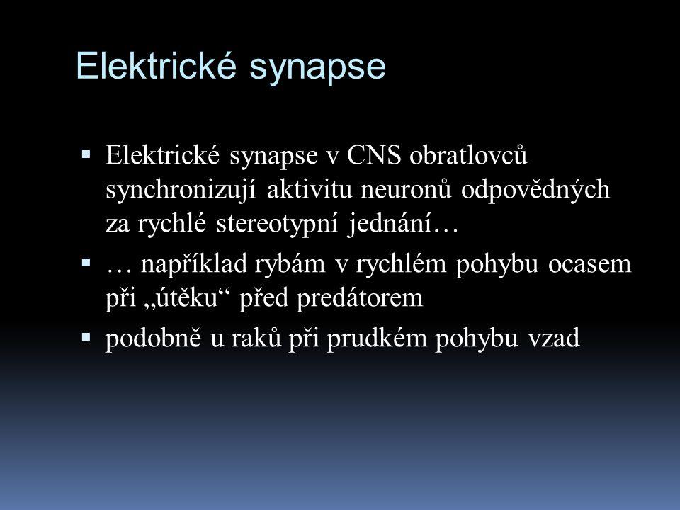 Elektrické synapse Elektrické synapse v CNS obratlovců synchronizují aktivitu neuronů odpovědných za rychlé stereotypní jednání…