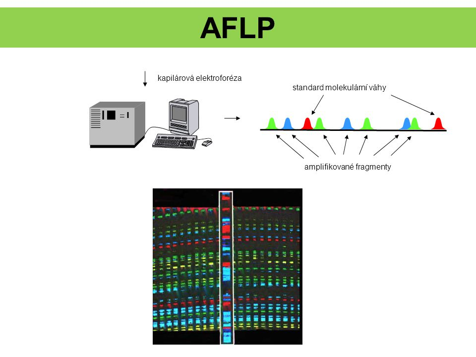AFLP kapilárová elektroforéza standard molekulární váhy