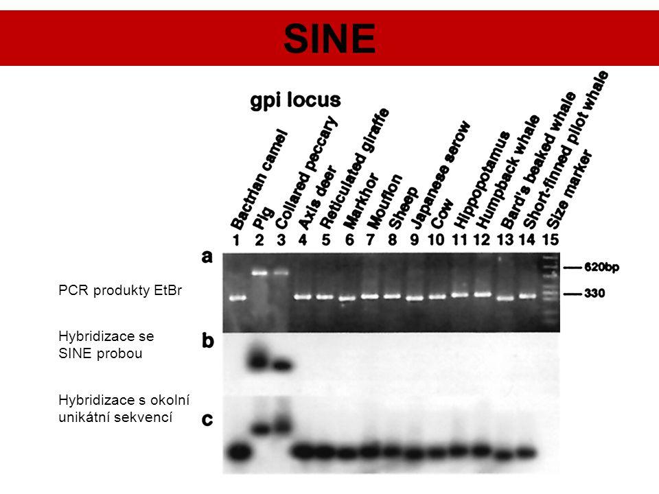 SINE PCR produkty EtBr Hybridizace se SINE probou
