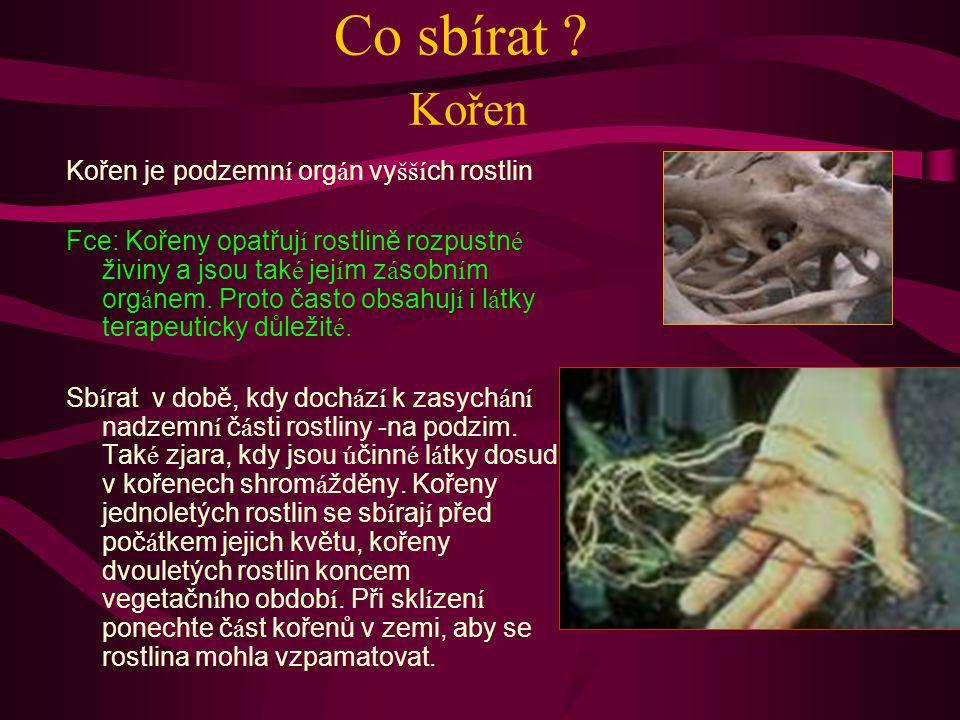 Co sbírat Kořen Kořen je podzemní orgán vyšších rostlin