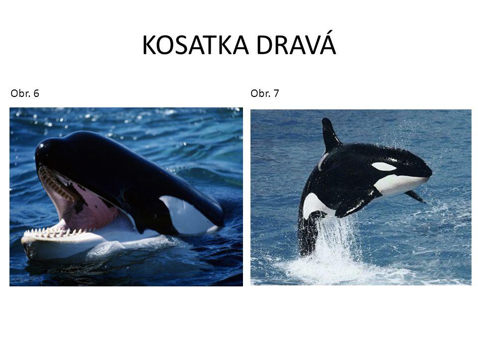 KOSATKA DRAVÁ Obr.