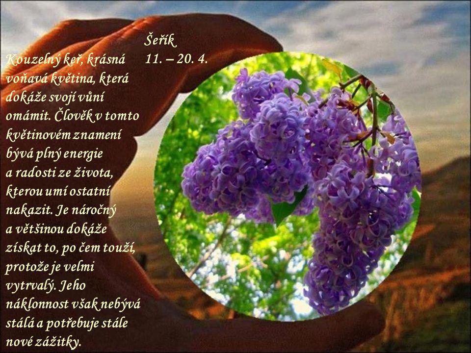 Kouzelný keř, krásná voňavá květina, která dokáže svojí vůní omámit