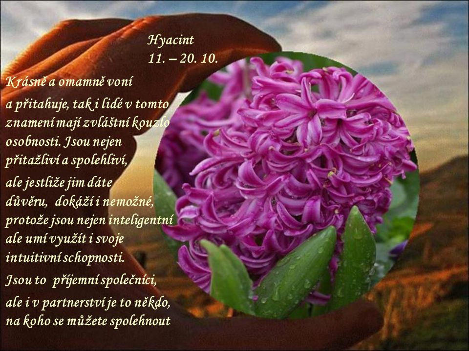 Hyacint 11. – 20. 10. Krásně a omamně voní.